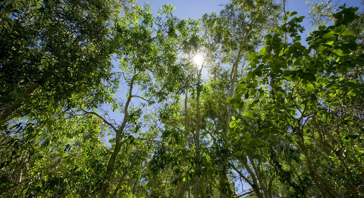 Tree tops and sunshine