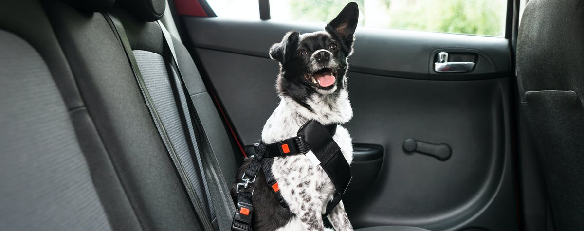 Dog in back seat of car