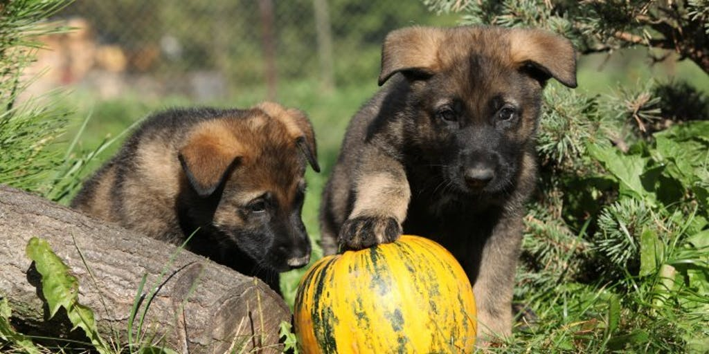 2 puppies outside playing with a pumpkin.